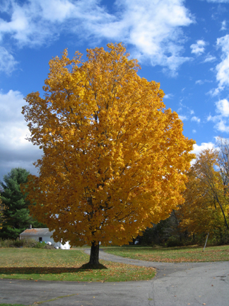 Yellow tree. blue sky