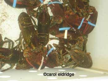 Lobsters_in_tank