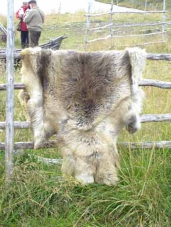 Reindeerskinjpg
