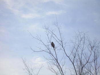 Hawk_in_tree