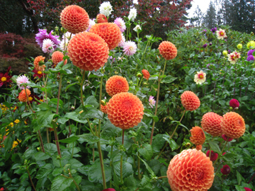 Button_dahlias