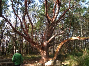 Pacific_madrone_tree