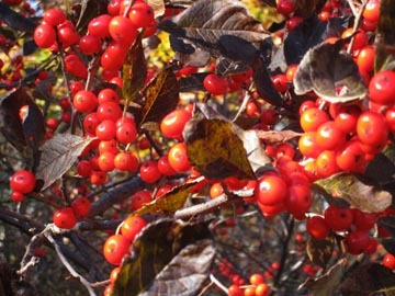 Close_up_berries